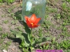 tulip00002
