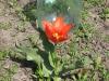 tulip00003