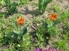tulip00007