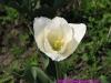 tulip00010