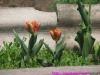 tulip00006